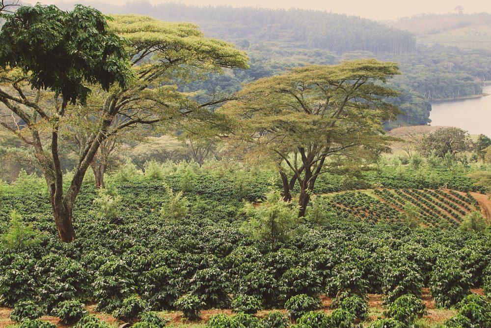 Zimbabwe Pezuru - King's Coffee