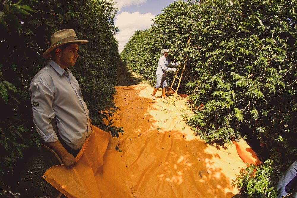 Brazil Lagoa - King's Coffee