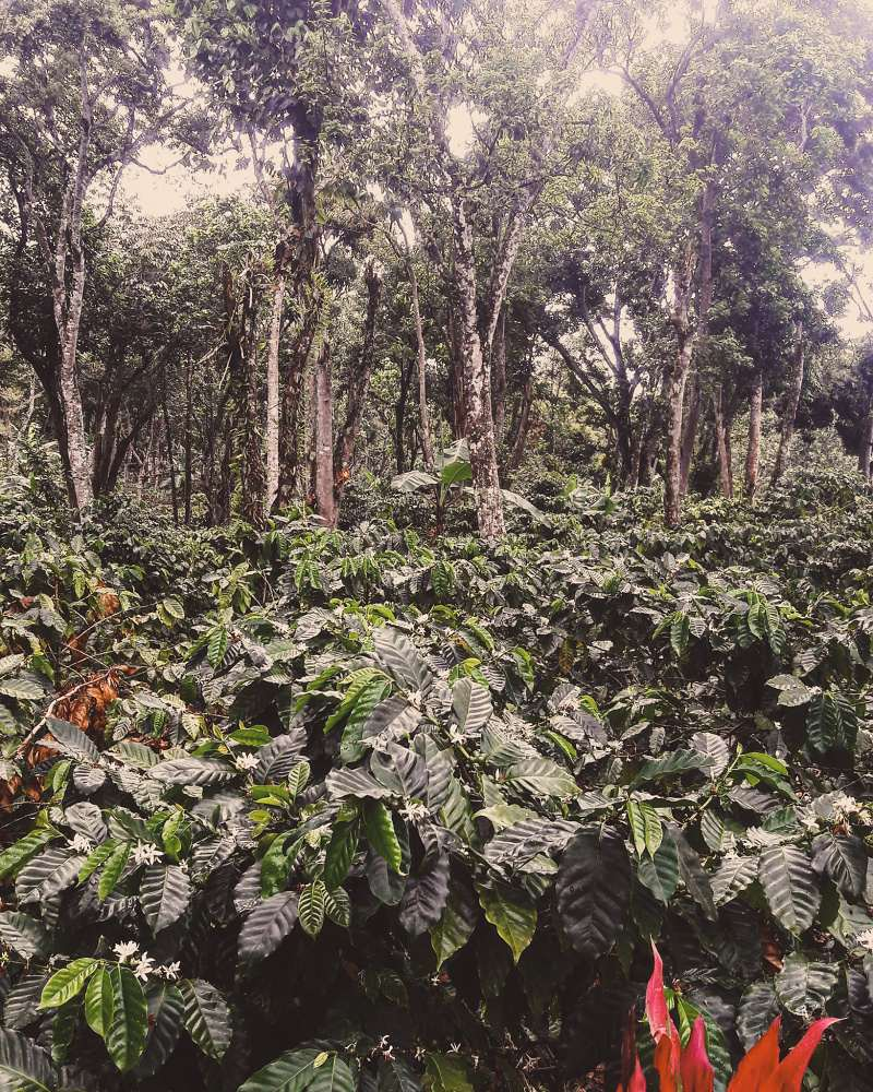 Dominican Republic Paraíso - King's Coffee