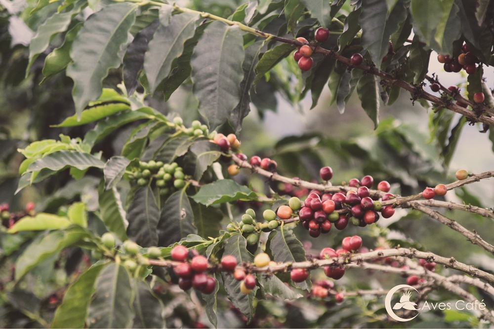 Colombia Tucan - King's Coffee