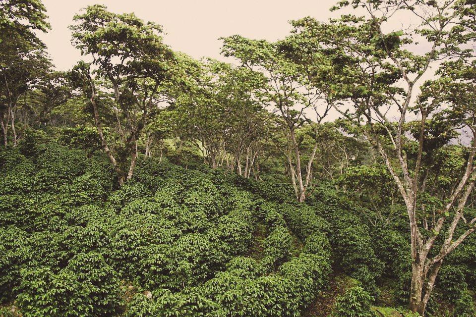 Honduras Finca Jerusalén - King's Coffee