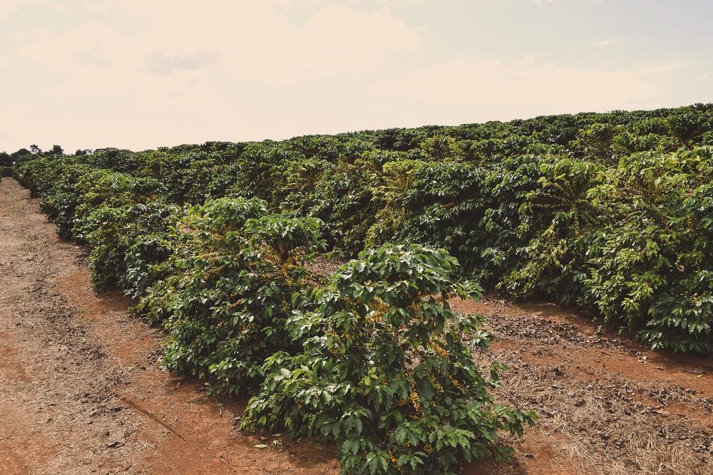Brazil Guima Santa Rita - King's Coffee